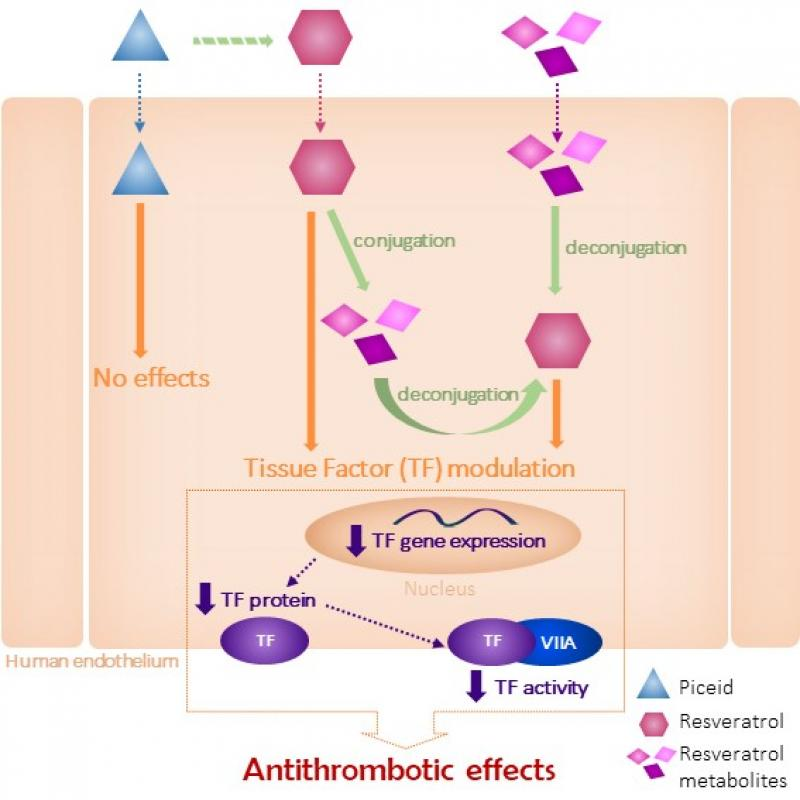 Endothelial Cells Deconjugate Resveratrol Metabolites to Free Resveratrol